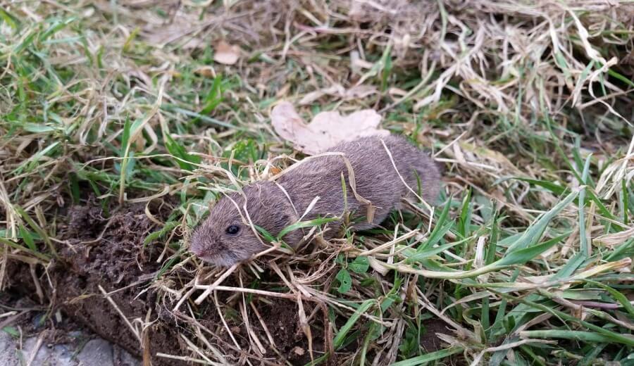ハタネズミの画像 p1_23
